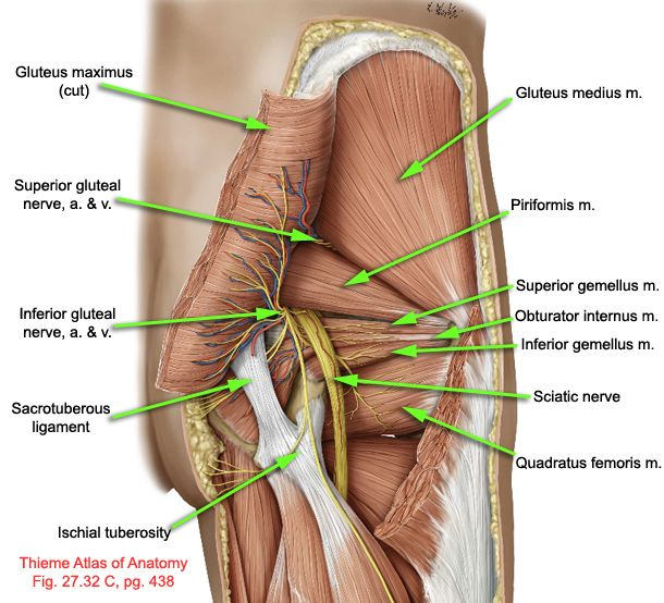 "often misdiagnosed as true ""sciatica"", piriformis syndrome is simply an over tight piriformis muscle pushing on the sciatic nerve. massage therapy can help!"
