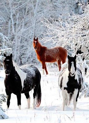 Three beautiful horses in the snow. Two Piebalds and one Chestnut Paint. Snow fall on the horses backs and covering the tree branches in beautiful white winter wonderland.
