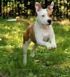 Hi, my name is Charley! I love playing outside, and walk great on a leash. I'm also learning a few tricks, like sit and come. Will you help me perfect my new tricks? I'm an easy going girl and would love a moderately active home where I can get plenty of exercise and mental stimulation.