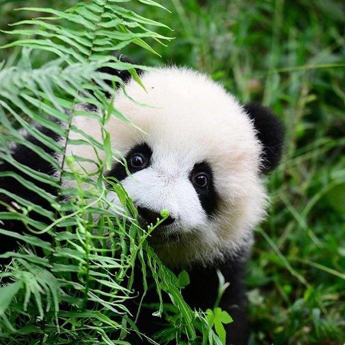 Beautiful panda by @panda_vibes