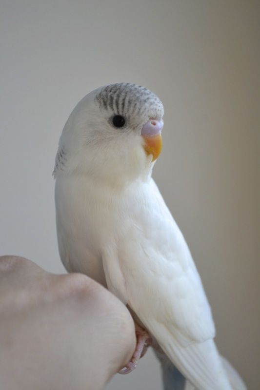 What a cute baby!  Possibly a double factor Domianant Pied or a combination of Dominant Pied and Recessive Pied.