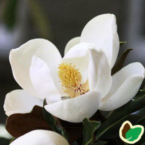1000 idee su magnolie su pinterest vaso di vetro fiori. Black Bedroom Furniture Sets. Home Design Ideas