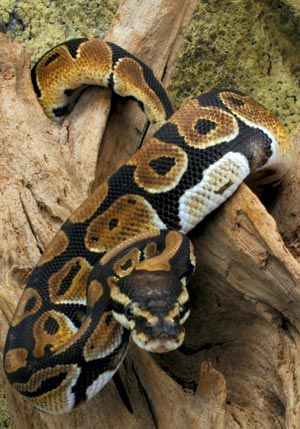 Ball Pythons were also introduced to Madagascar and some of them escaped.