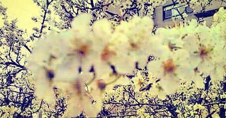Antigua primavera #ñuñoa #flor #flower #primavera #spring #cerezo #cherry #blossom #capullo #botón #brote