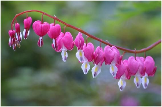 Bleeding Heart, love these!Spring Flower, Shady Gardens, Plants, Bleeding Hearts, Bleeding Heart Flower, Most Beautiful Flower, Nature Beautiful, Blossoms, Spring Treats