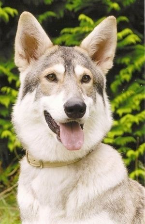 Close up head and upper body shot - A perk-eared, tan with black and white Northern Inuit Dog is sitting in grass. Its mouth is open and tongue is out. It looks like a wolf.