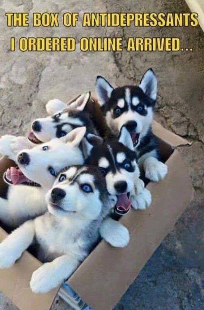 Box Of Antidepressants Dog Meme Imglulz Funny Animals Dog