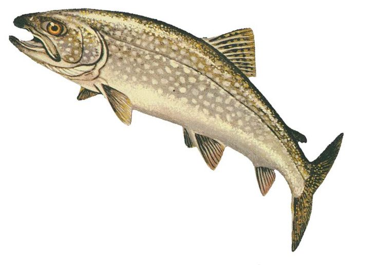 Lake Trout GLERL - Lake trout - Wikipedia, the free encyclopedia