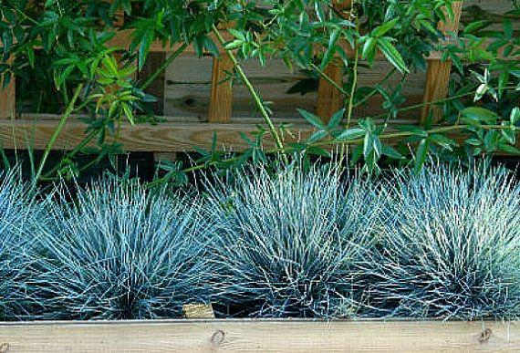 Festuca azul es una hierba perenne que crece en mechones compactos grasa. Es azul hielo y forma como un erizo. Es perfecta en un jardín de cactus, para una cama de flores de corte, o masivo como una cubierta de tierra de bajo mantenimiento. Esta es una planta llamativa y es muy fácil de cultivar.  Perenne en zonas 4-10, Festuca azul ama a pleno sol y se ve bien todo el año, incluso en el calor del verano. Es tolerante una vez establecidos a la sequía y no necesita casi ningún mantenimiento…