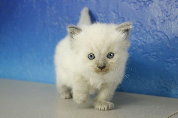 Dodge - Blue Point Ragdoll Cat Kitten from www.RagdollKitten.us #ragdollcatmale