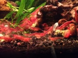 red 10 gallon red cherry cherry shrimp shrimp tank freshwater shrimp ...
