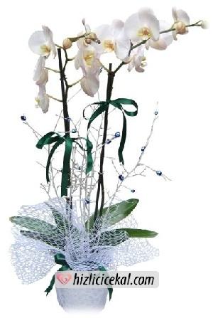 İkili Beyaz Orkideler - %10 indirimli  112,50tl + kdv    http://www.hizlicicekal.com/cicekler/cicekciler/cicek/108/ikili-beyaz-orkideler/