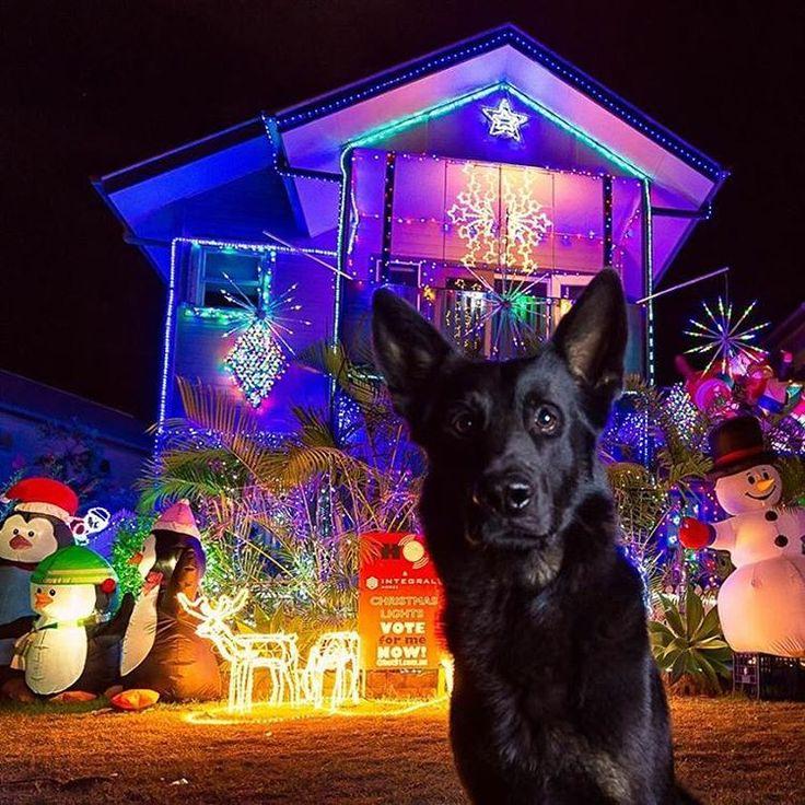 Police Dog Heeko enjoys the Christmas lights