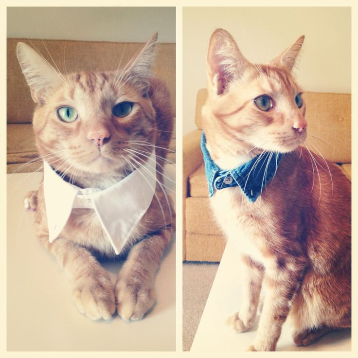DIY Cat collar = cute! Are you saying I can *make* my cat a bow tie collar instead of paying money for one? Excellent!