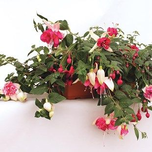 Giant Fuchsias Collection 2 Pre Planted Troughs Colour coordinate your garden throughout SummerComes with a FREE plant hydrator. Buy 2 pre planted troughs and save £5!Baskets, containers  troughs, pre-planted with these Fuchsias. Giant colour coor http://www.MightGet.com/january-2017-11/giant-fuchsias-collection-2-pre-planted-troughs.asp
