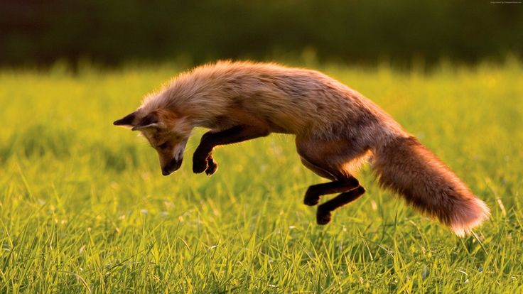 Related Keywords & Suggestions for jumping red fox animal