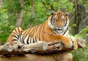 Harimau Sumatra :Binatang Langka di Indonesia