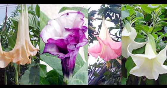 Manfaat Daun Kecubung Untuk Kesehatan - Bunga kecubung memiliki berbagai macam warna, ada yang berwarna putih atau lembayung, merah, dan ungu. Kecubung berasa pedas, pahit, hangat, dan bersifat racun. Sebenarnya Manfaat Daun Kecubung Untuk Kesehatan yang ampuh mengatasi berbagai macam penyakit,