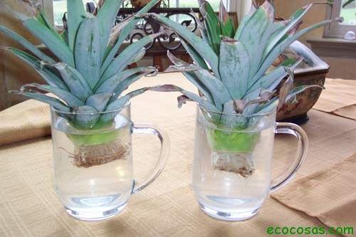 anana en agua1 Cultivar un Ananá (Piña) en maceta