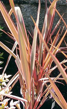Phormium Rainbow Queen  // Great Gardens & Ideas //: Gardens Ideas, Decor Ideas, Garden Ideas, Grass, Rainbows Queen