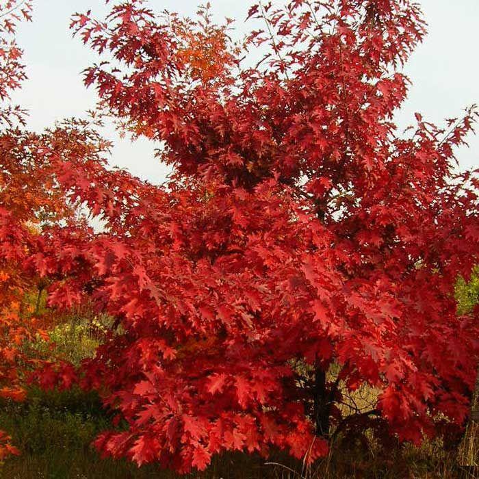 Дуб красный - Растения » Лиственные деревья » Дубы » Дуб красный