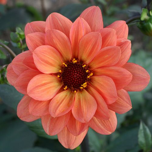 1000 ideas about fleur orange on pinterest dahlia. Black Bedroom Furniture Sets. Home Design Ideas
