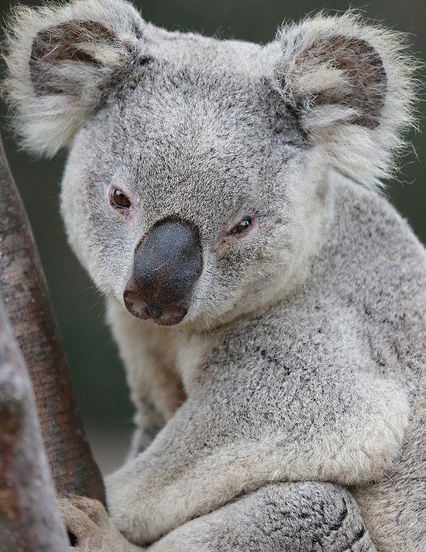 Despite Common Belief Koalas Are Not Bears Sleepy Marsupial By Angie Bell Koala Bear Koala Funny Koala