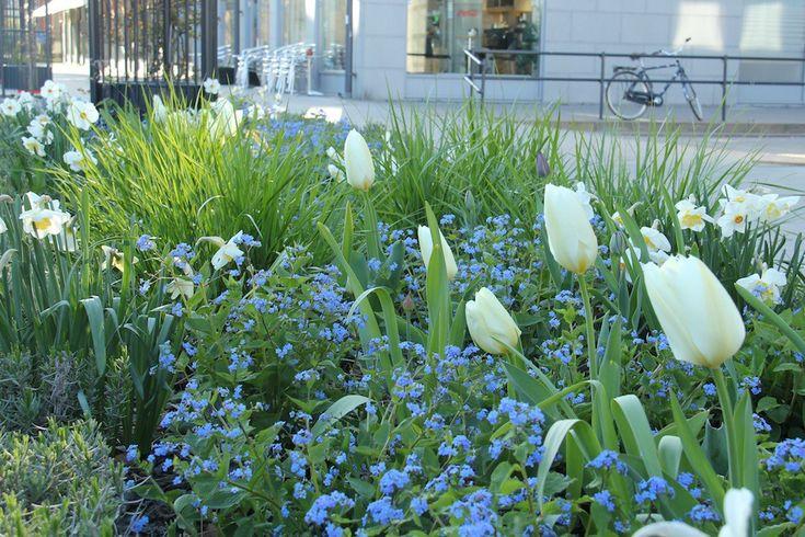 En rabatt med en av vårens vackrast perenner kaukasisk förgätmigej, Brunnera macrophylla, får ännu en dimension när man kompletterar med vita narcisser och tulpaner. De blommar tillsammans i april.