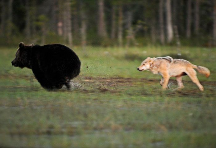 rare-animal-friendship-gray-wolf-brown-bear-lassi-rautiainen-finland-running