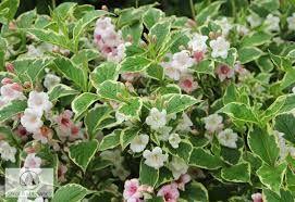 Resultado de imagem para Weigela variegata