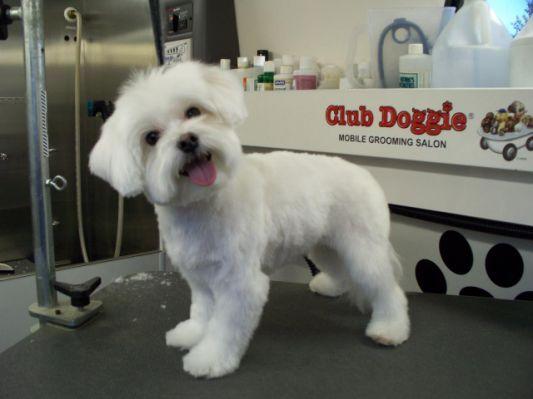 Havanese Grooming Styles Club doggie