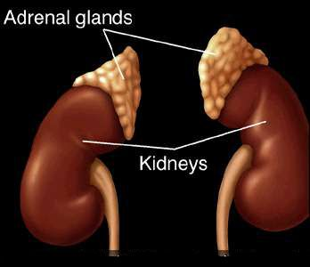 Adrenal Glands and their effect on overall health, adrenal fatigue and stress.