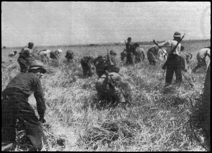 Μάχη της σοδειάς στη Θεσσαλία τη κατοχή Αντάρτες της αντίστασης προστατεύουν τη συγκομιδή