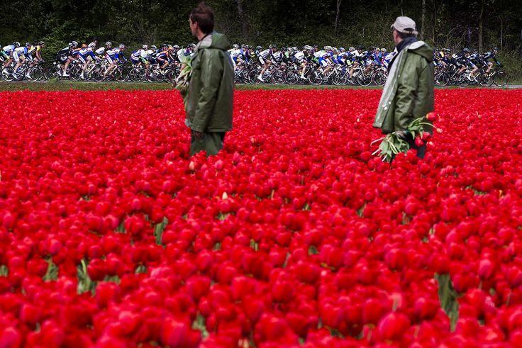 El pelotón pasa junto a un campo de tulipanes, en la primera etapa del Tour de Olympia, en Hoofddorp, Holanda, hoy, martes 14 de mayo de 2013.