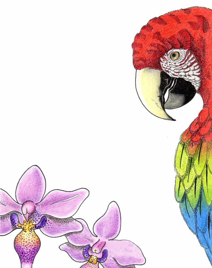 Macaw - Color - ilustration
