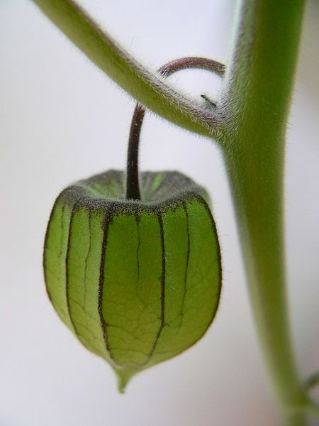 Physalis fruchthuelle, the cape gooseberry in its green calyx.