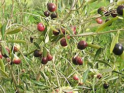 <p>Olive trees grow all over the San Fernando Valley. Native to the Mediterranean, missionaries planted them here in the 1800s. By now, they've virtually gone native, and some have gone wild. I've harvested and cured black Mission Olives growing in a dusty field, without the aid of irrigated watering. Olives …</p>