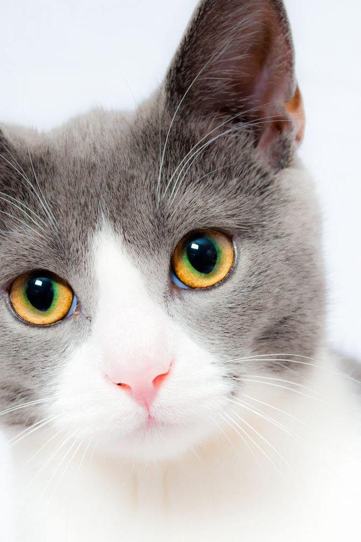 Best 25 Grey cats ideas on Pinterest  British blue
