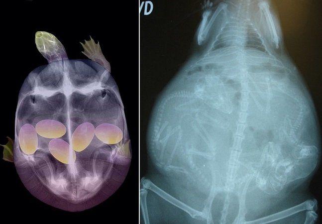 Nós todos já estamos acostumados a ver imagens de ultrassonografias de mulheres grávidas. É fácil reconhecer o feto ali no útero, assim como é lindo acompanhar o seu desenvolvimento. Mas já pensou como ocorre a gestação em outras espécies de animais? Reunimosimagens de raios x de diversos animais enquanto esperavam filhotes. De cobras a gatinhos, todos têm algo em comum - mas também reservam muitas diferenças entre si. Tartaruga Foto via Macaco-folha-de-françois Foto:Taronga Zoo Gatíneo…