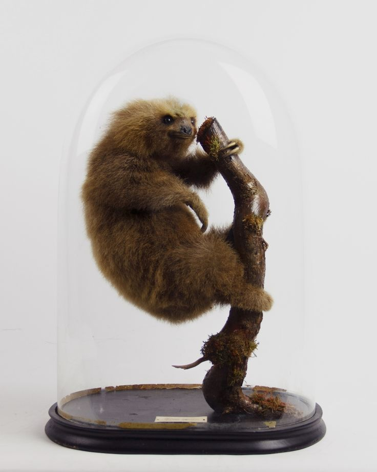 Hoffmann's two-toed sloth taxidermy piece for sale. The common name commemorates the German naturalist Karl Hoffmann. This species often exhibits exaggerated wobbling of the head. Another trait of this sloth is it often spits when the mouth opens. The saliva often accumulates on the lower lip, giving the creature a comical appearance.