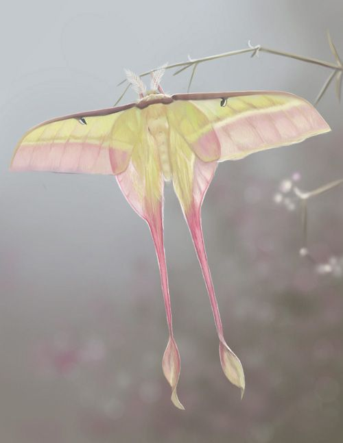 male chinese moon moth