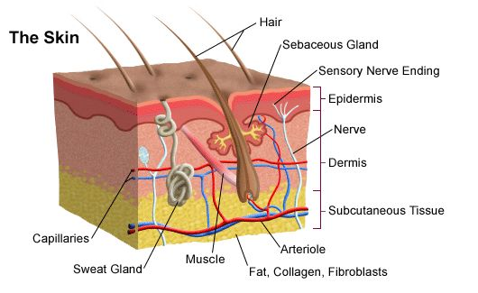 My Life as an Esthetician: The Five Layers of the Epidermis...so helpful!