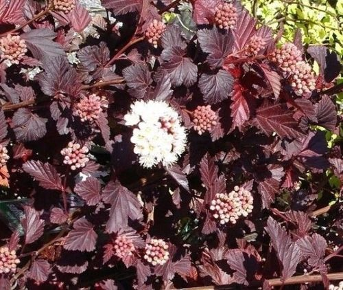 Physocarpus Lady In Red A Deciduous Shrub That Has Lovely Reddish Purple Leaves This