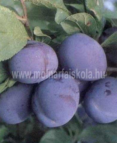 Bluefre szilvafa