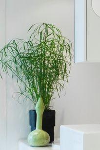 Kamerplanten hebben ieder hun eigen feeling. Puur en ongekunsteld. Dat geldt in het bijzonder voor Cyperus: ruig en oer, maar tegelijkertijd ook een sierlijke verschijning. De halmen en stengels spatten uiteen in talloze groene sprieten en soms zijn er verrassende bloemetjes in de vorm van minimalistische aren.