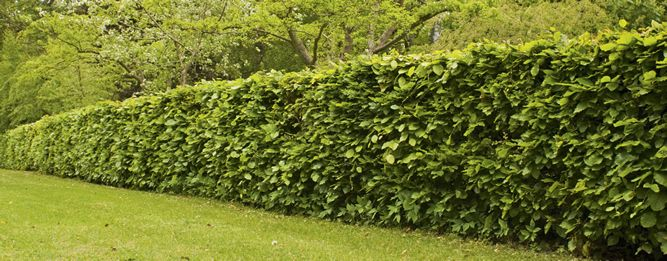 Spacing Is Important When Planting A Hedge If The Plants Are Too Far Apart You Will End Up With Unwanted Gaps In The Hedge Particular Garden Hedges Hedging Plants Hedges