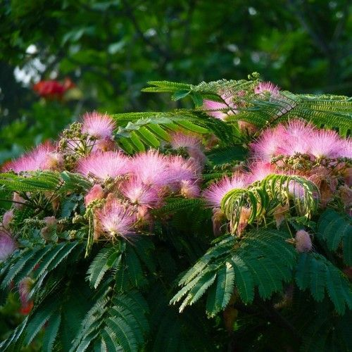Albizia julibrissin is a small deciduous tree growing to 5–12 m tall, with a broad crown of level or arching branches. The bark is dark greenish grey in colour and striped vertically as it gets older.