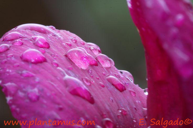 Agua sobre cyclamen en Plantamus