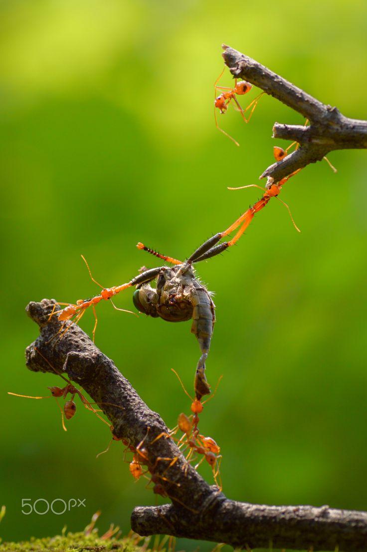 Predacious - Ant..... team work