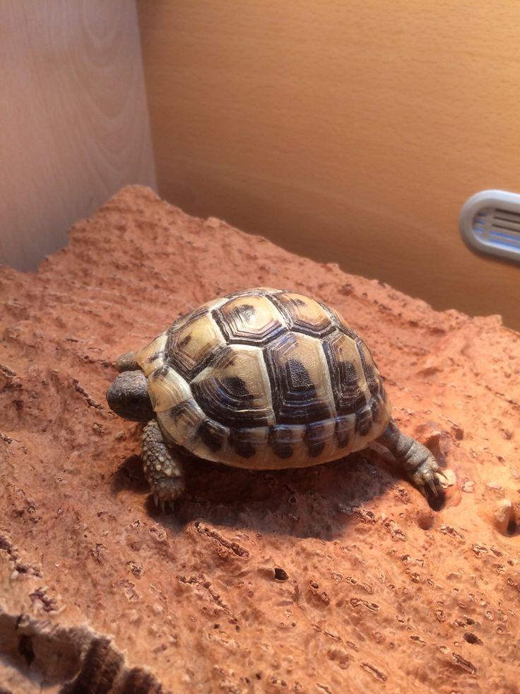 Herman's #tortoise